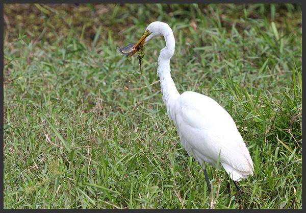 Great egret - Birds of Costa Rica