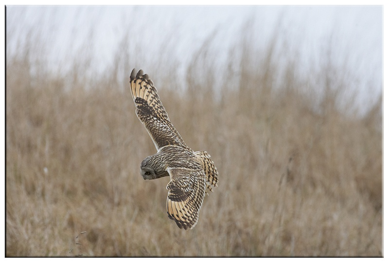 Short Eared Owl - Owls
