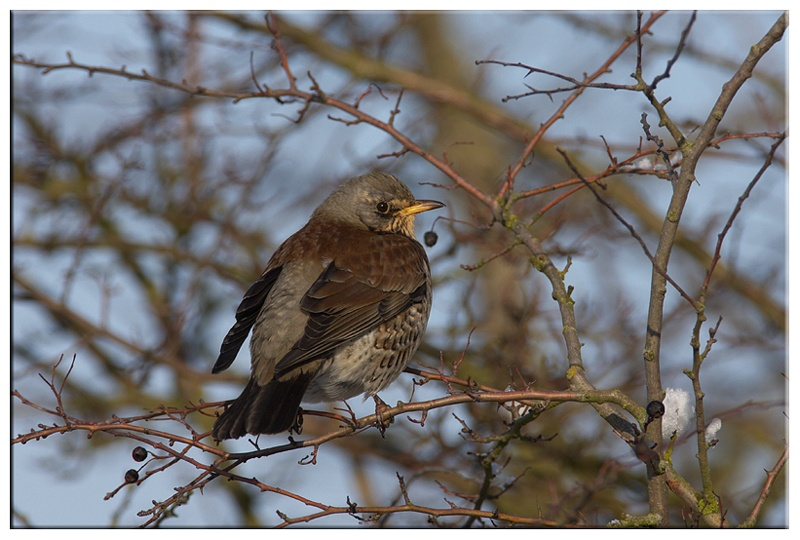 Fieldfare - Common and Countryside Birds