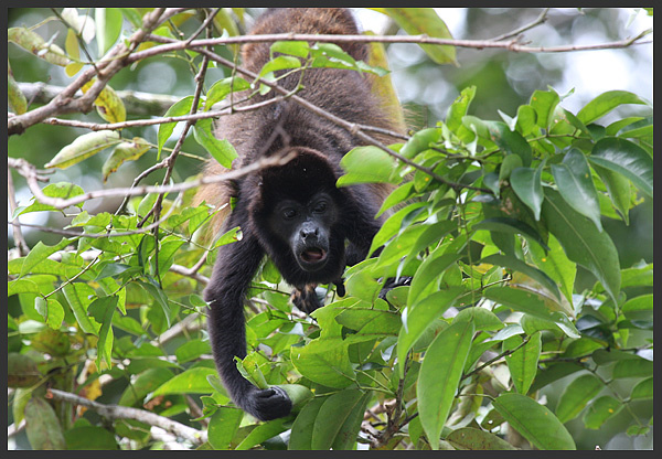 Howler monkey - Costa rica