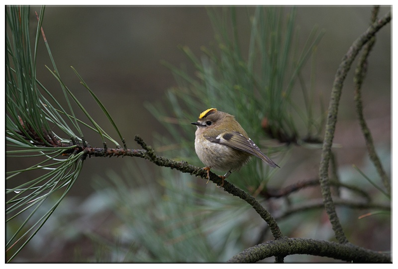 Goldcrest - Common and Countryside Birds