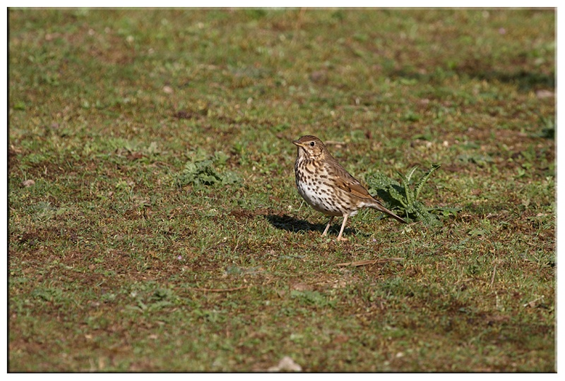 Song thrush - Common and Countryside Birds