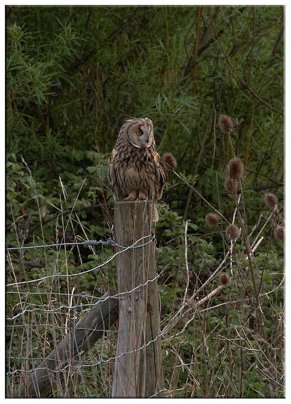 Long Eared Owl - Owls