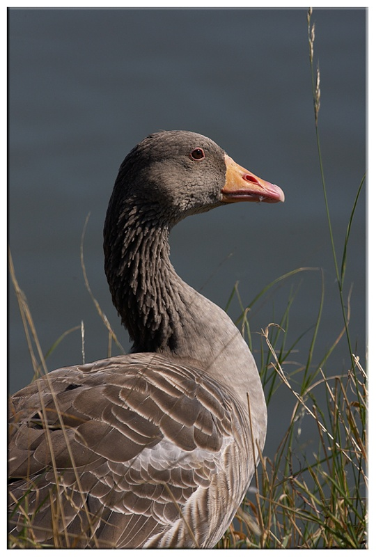 Greylag Goose - Wetland and Wildfowl Birds