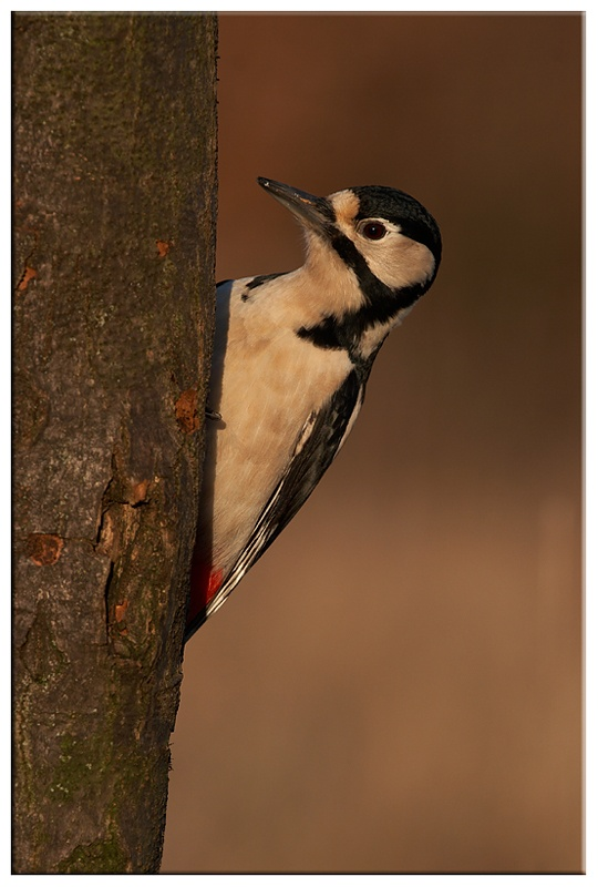 Great spotted woodpecker - Common and Countryside Birds
