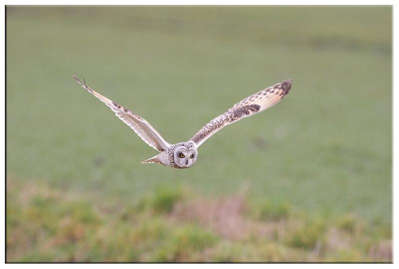 Short Eared Owl - Owls