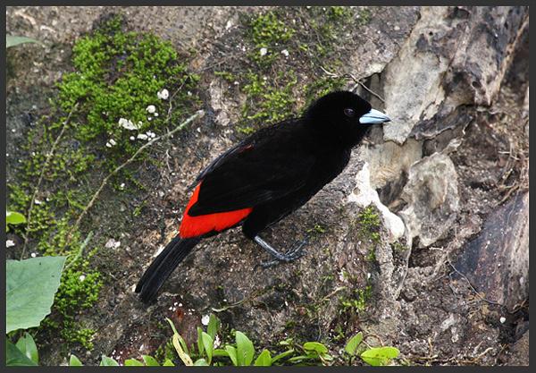 Passerini's tanager - Birds of Costa Rica