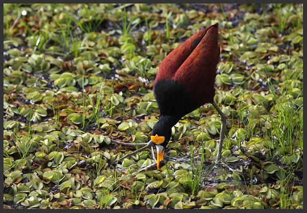 Northern jacana - Birds of Costa Rica