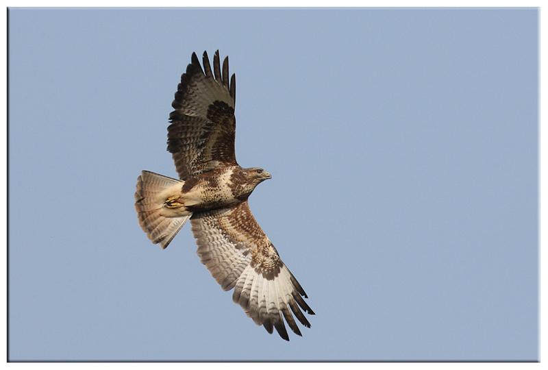 Common Buzzard - Red Kites and Buzzards