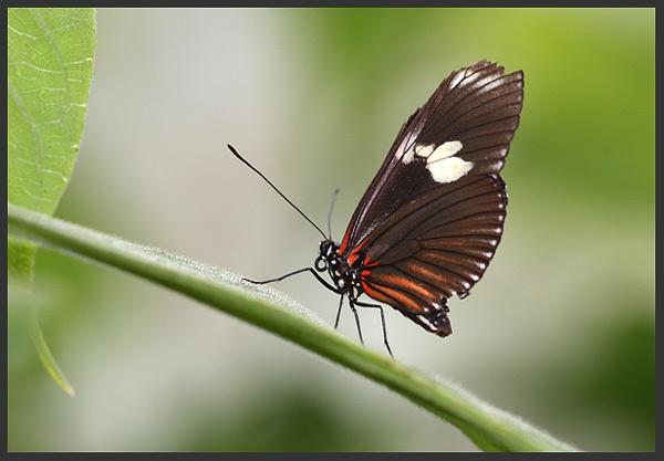 Butterfly - Costa rica