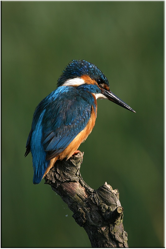 Kingfisher - Wetland and Wildfowl Birds