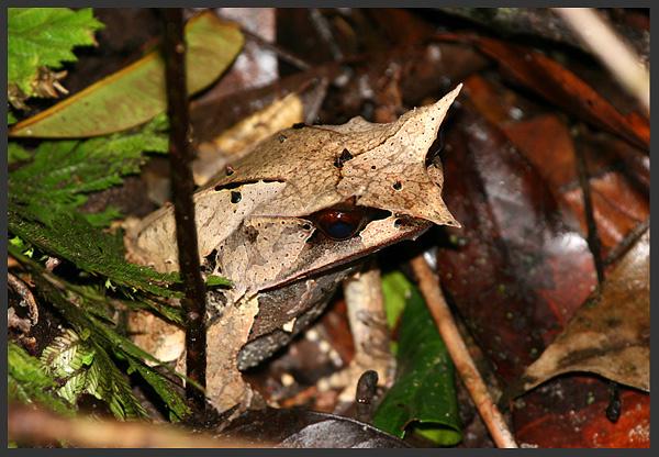Borneo horned frog - Borneo 2007