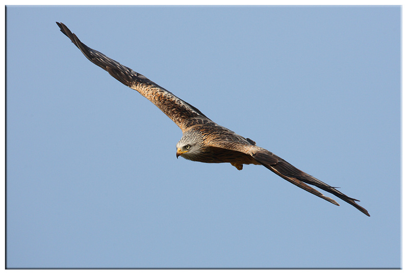 Red Kite - Red Kites and Buzzards