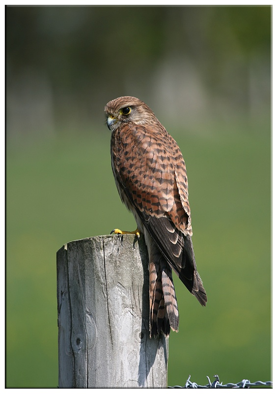 Kestrel - Common and Countryside Birds