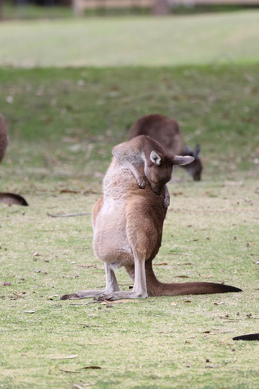 Kangaroo, Perth - Australia