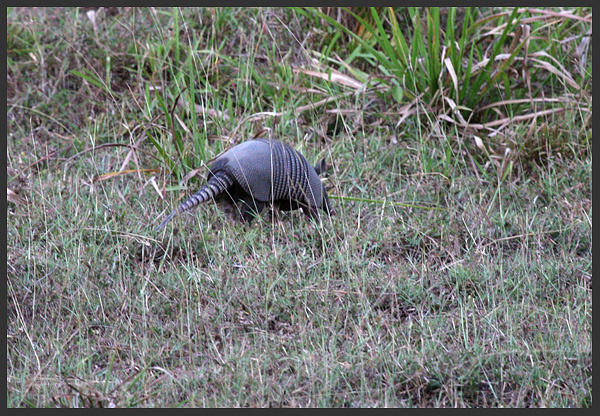 Nine-banded armadillo - Costa rica