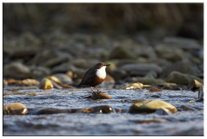 Dipper - Wetland and Wildfowl Birds