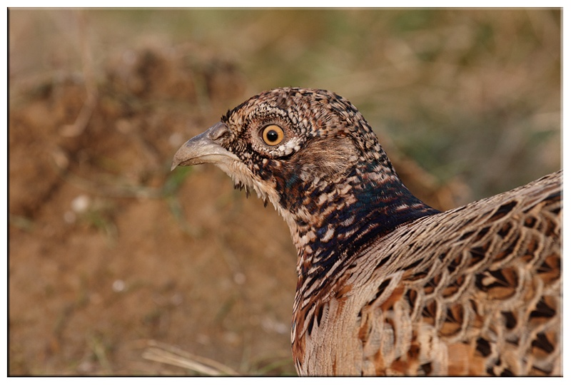 Female Pheasant - Common and Countryside Birds