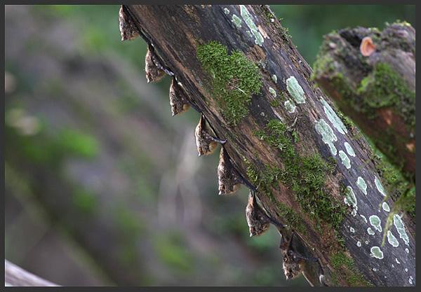 Long-nosed bats - Costa rica