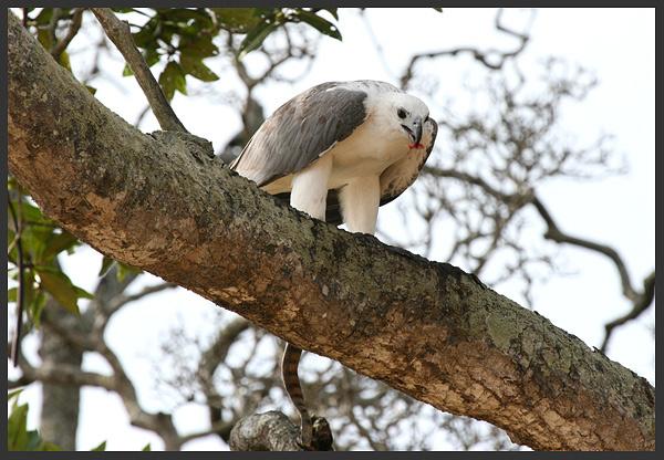 White bellied sea eagle - Borneo 2007