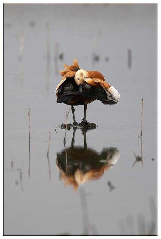 Ruddy shelduck - Wetland and Wildfowl Birds