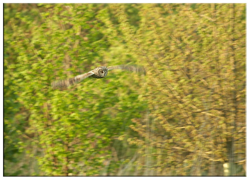 Long Eared Owl - Owls