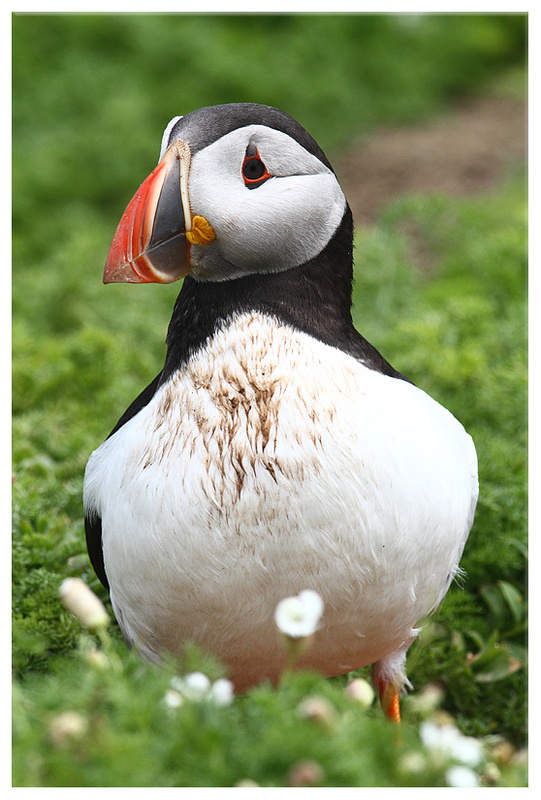 Puffin - Puffins and Sea birds