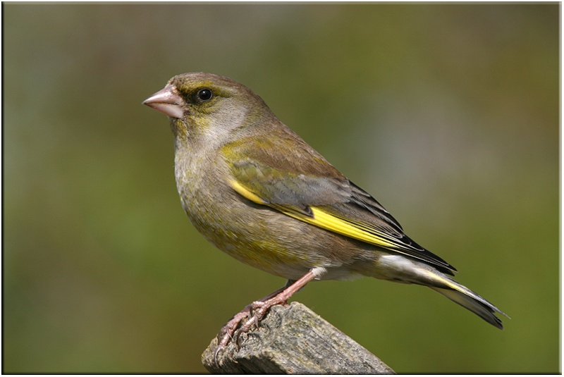 Greenfinch - Common and Countryside Birds