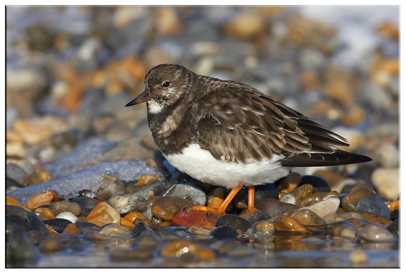 Ruddy Turnstone - Coastal and Wading Birds