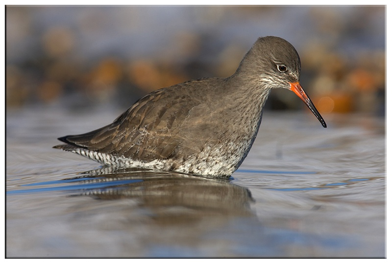 Redshank - Coastal and Wading Birds