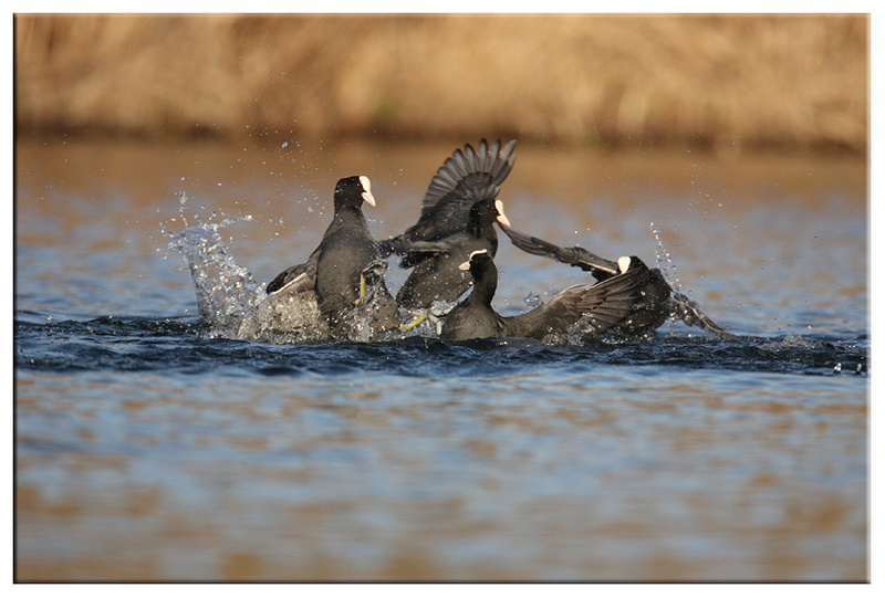 Coot's fighting - Wetland and Wildfowl Birds