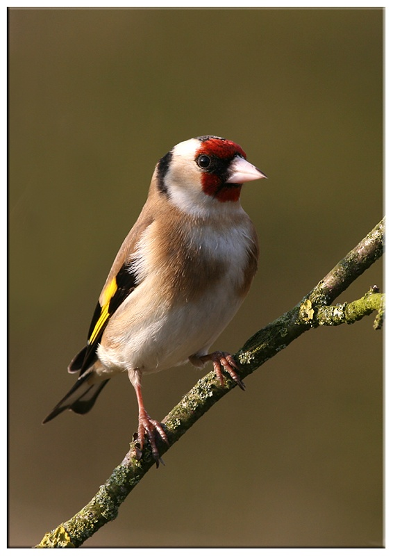 Goldfinch - Common and Countryside Birds