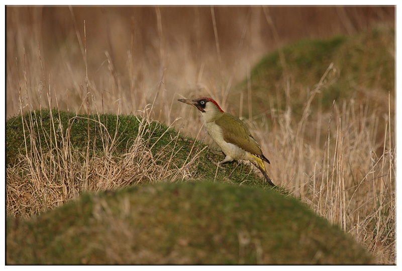 Green Woodpecker - Common and Countryside Birds