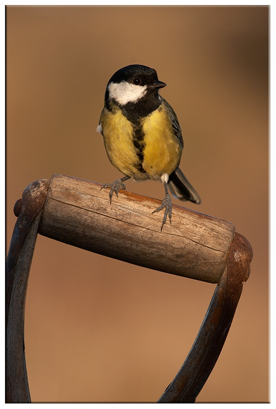 Great Tit - Common and Countryside Birds
