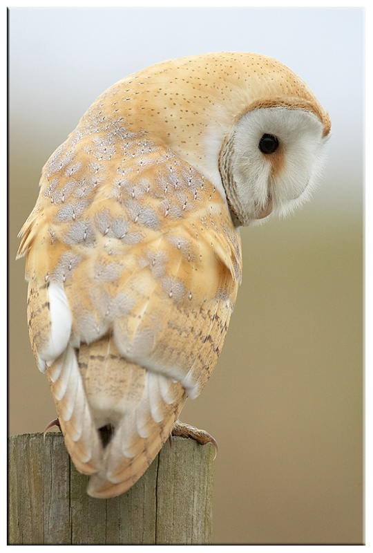 Barn Owl - Owls