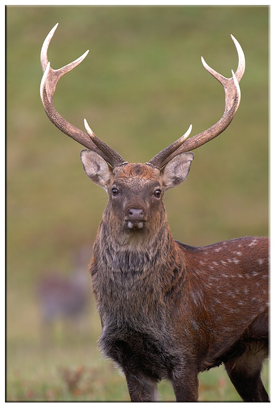 Silka Deer - British wildlife