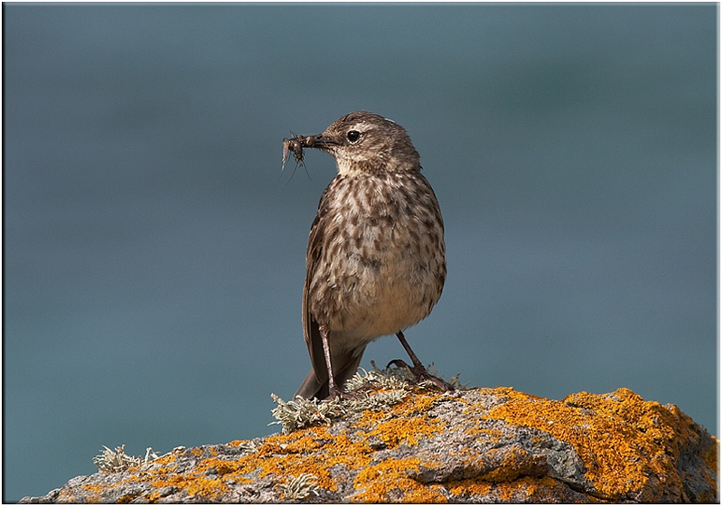 Rock Pipit - Coastal and Wading Birds