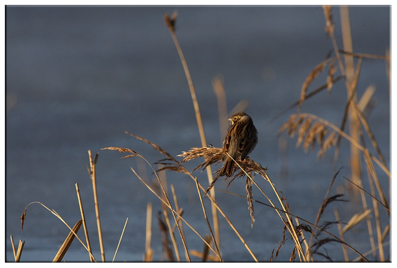 Reed Bunting - Wetland and Wildfowl Birds