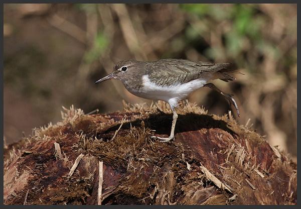 Spotted sandpiper - Birds of Costa Rica