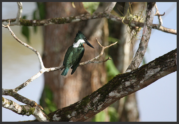 Amazon kingfisher - Birds of Costa Rica