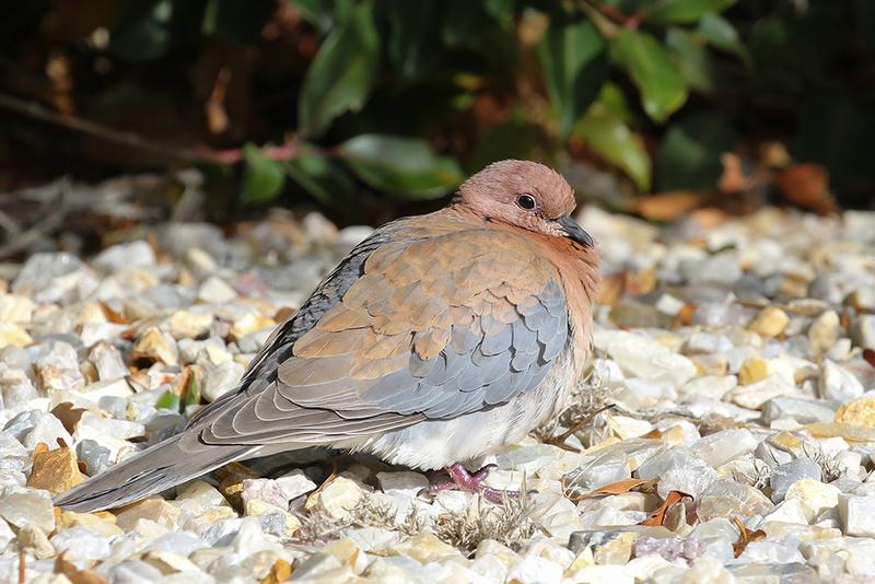 Laughing Turtle Dove - Australia