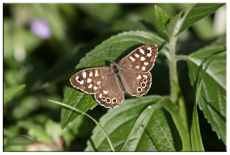 Spotted wood Butterfly - British wildlife