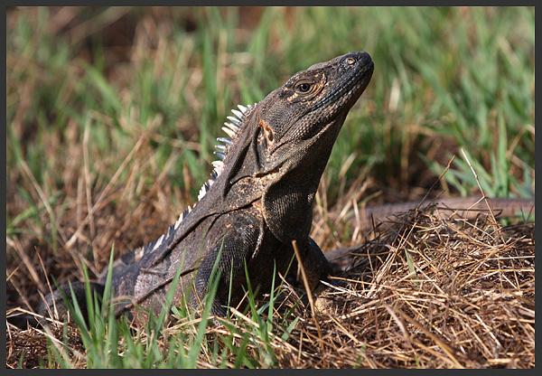 Ctenosaur - Costa rica