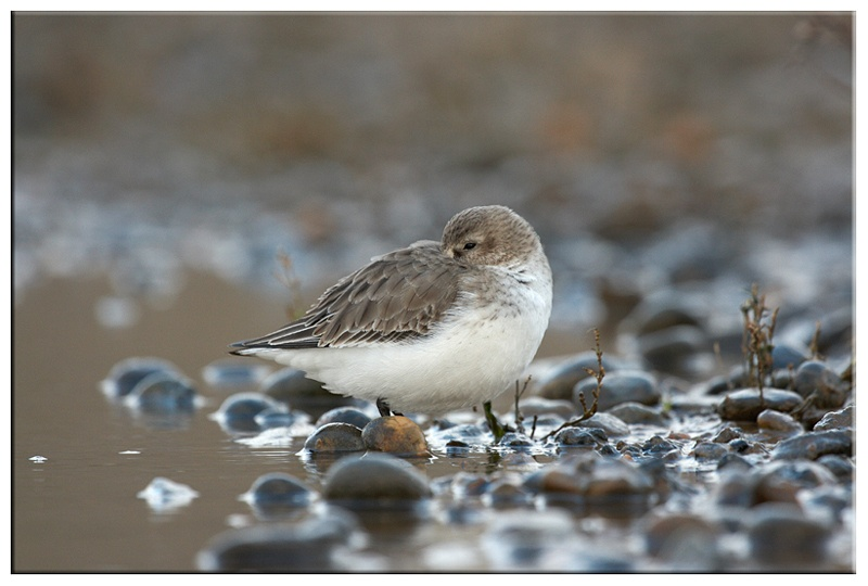 Dunlin - Coastal and Wading Birds