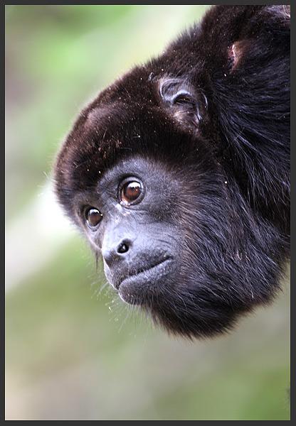 Howler monkey - Costa rica