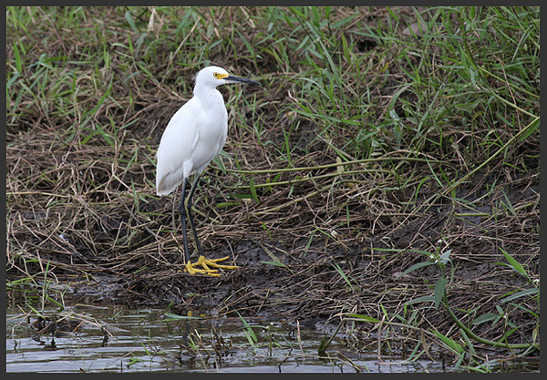 snowy egret - Birds of Costa Rica