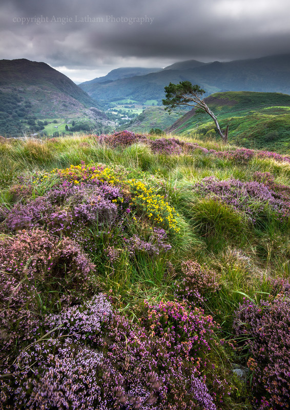 Heather and Gorse, Beddgelert - Celtic Wales