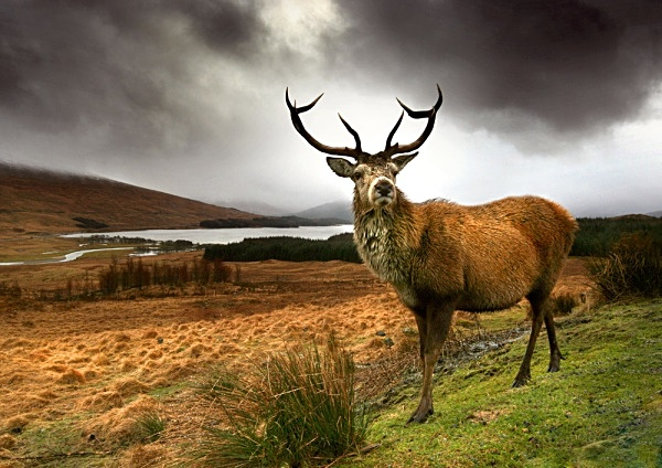 Monarch of the Glen - Highlands of Scotland