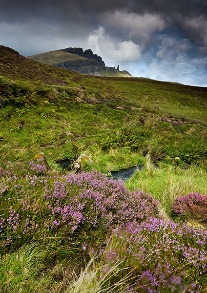 Old Man and Heather - Isle of Skye