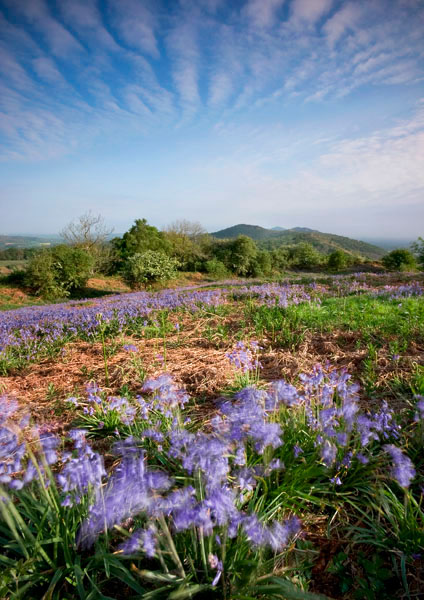 Midsummer Bluebells (P) - The Malvern Hills